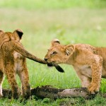 Killer cubs at play